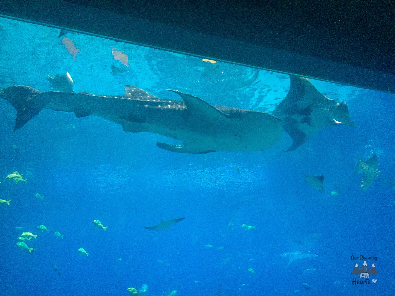 Georgia Aquarium Whale Shark