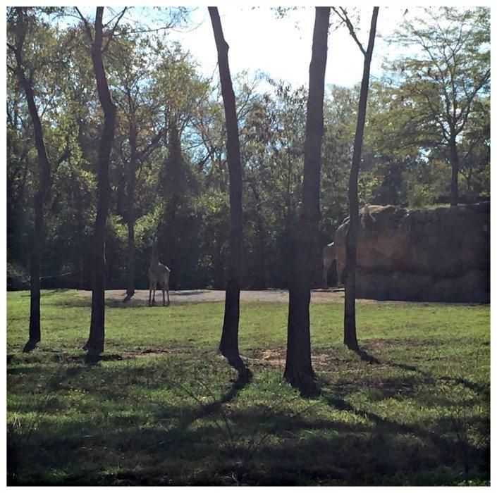 Nashville Zoo - Nashville, Tennessee Giraffe