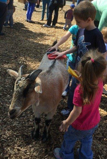 Nashville Zoo - Nashville, Tennessee Goat Brushing