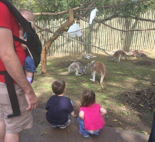 Nashville Zoo - Nashville, Tennessee Kangaroo 1