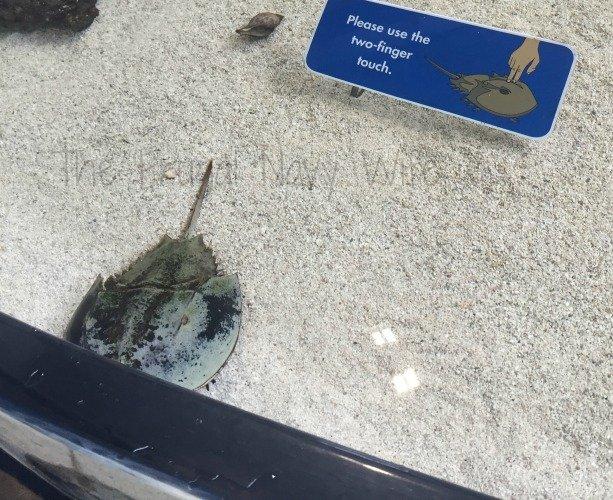 Mote Marine Aquarium - Sarasota Florida Horseshoe crab
