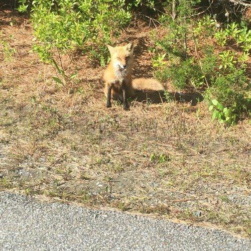 -Cape Henlopen State Park Fox
