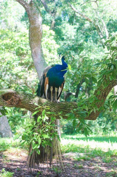 Weeki Wachee State Park Peacock