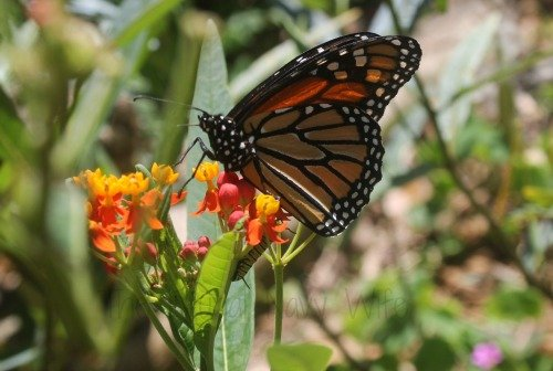 Taking your Family to Historic Sunken Gardens St Petersburg Florida Butterfly