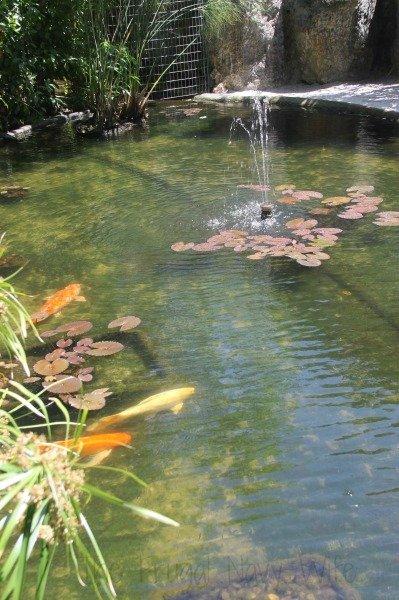 Taking your Family to Historic Sunken Gardens St Petersburg Florida Koi