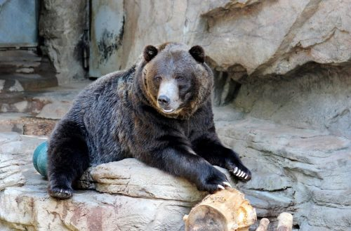 Grizzly Bear at Denver Zoo Photograph