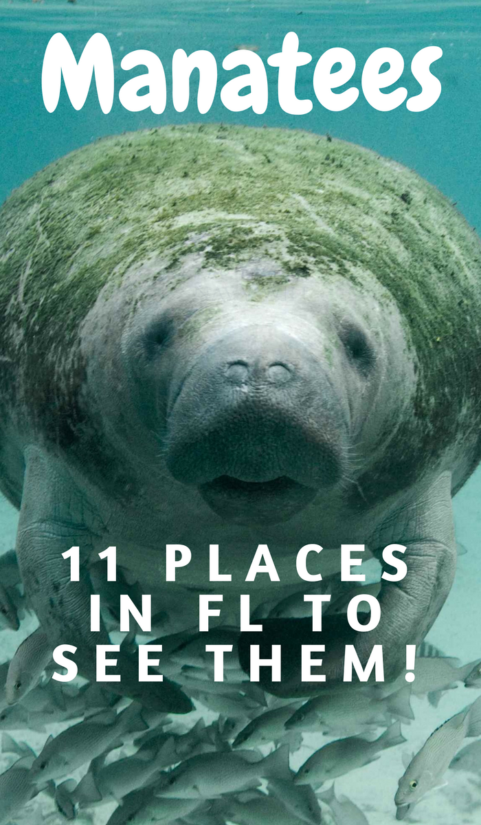 manatee swimming over a school of fish.