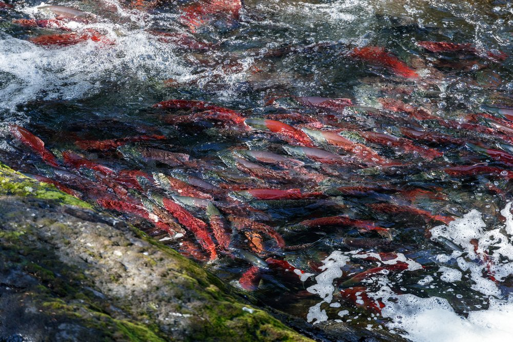 Salmon in an Alaska River