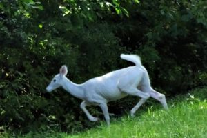 Tour Seneca White Deer Park at the Seneca Army Depot, which has quite an amazing story. All this started in 1941 and there is a great story. #senecawhitedeer #senecaarmydepot #ourroaminghearts #newyork | New York Travel | Things to do in New York | Seneca White Deer