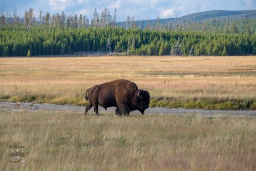 Yellowstone Scenic Drives Bison - Firehole Canyon Road Drive