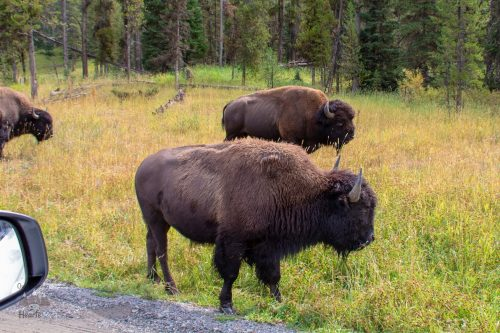 Yellowstone Scenic Route Bison 2