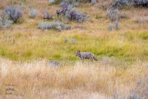 Yellowstone Scenic Drives Coyote - Wildlife Safari Loop