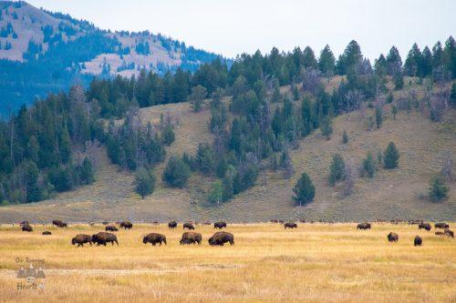 Elk Ranch Flats Bison