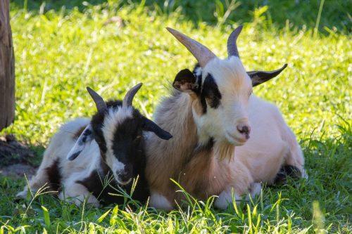 Hunsader Farms Petting Zoo