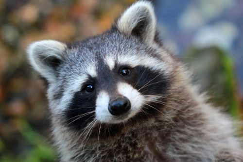 Raccoon Tennessee State Animal
